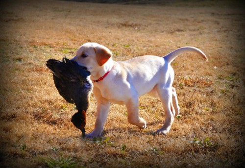 The new pup's first hunting trip.