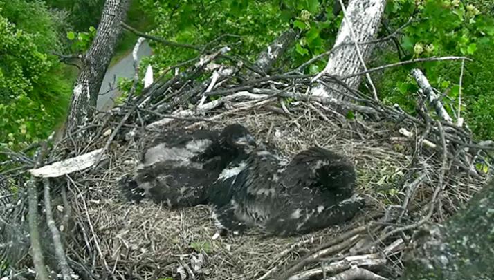 Eagle Cam Fledglings Receive Patriotic Ass Names