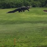 Massive Gator Invades Florida Golf Course