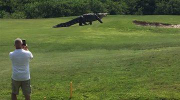 Massive Gator Invades Florida Golf Course