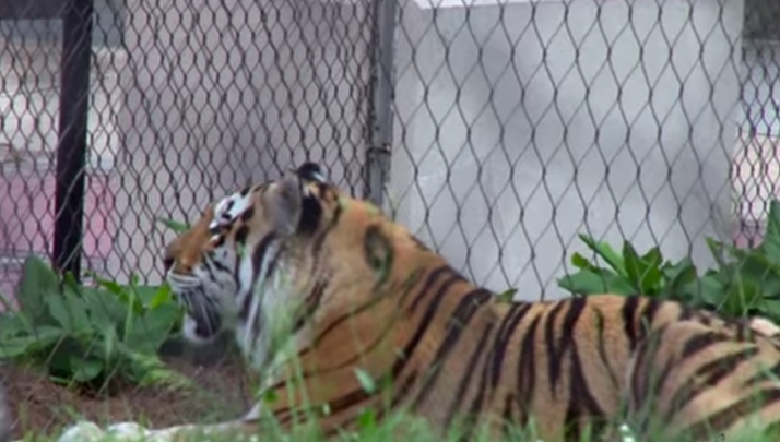 LSU's Beloved Mike The Tiger Has Been Diagnosed With Rare Form Of Cancer