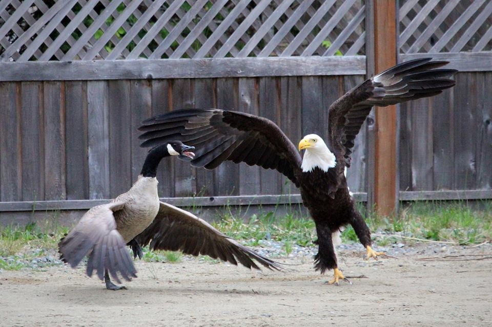 Canada Goose mens online store - Total Frat Move | PHOTOS: A Bald Eagle Fought A Canada Goose ...