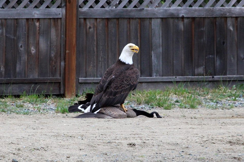 Canada Goose womens online price - Total Frat Move | PHOTOS: A Bald Eagle Fought A Canada Goose ...