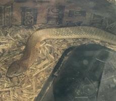 Cobra loose in Texas
