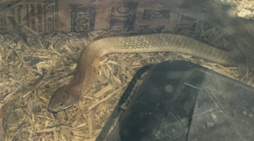 Cobra loose in Texas