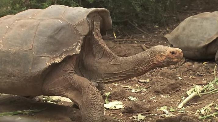 diego the galapagos tortoise