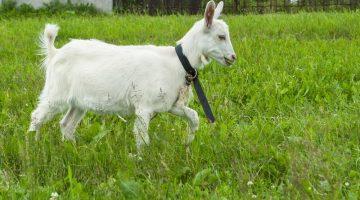 radford university frat goat