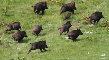isis wild boars