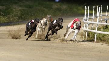 greyhound racing cocaine