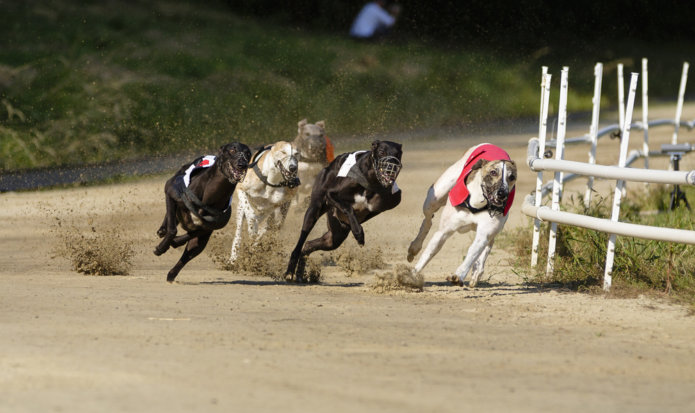 greyhound racing cocaine