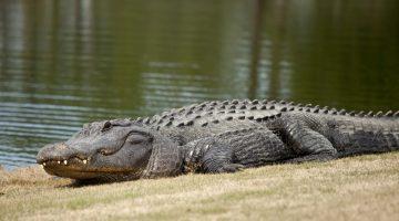 alligator attack golf course golf ball