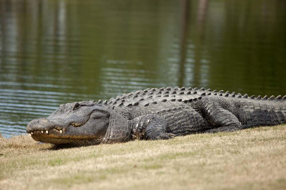 alligator attack golf course golf ball