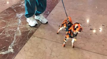 dog dyed auburn tiger