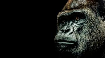 gorilla harambe cincinnati zoo
